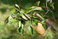欧洲梨铁锈是梨一种共同的霉菌疾病  免版税图库摄影