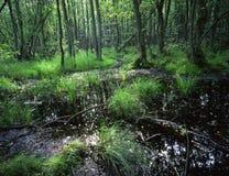 欧洲森林沼泽 库存照片