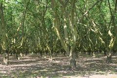 欧洲榛树果树园 免版税库存图片