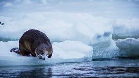 欧洲水獭在一个冻湖的冬天 图库摄影