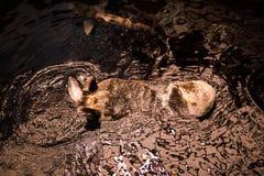 欧洲海狸,铸工纤维,野生动物游泳在水族馆的清楚的水中 库存图片