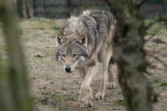 欧洲狩猎狼 图库摄影