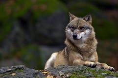 欧洲狼 图库摄影