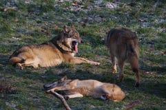 欧洲狼 免版税库存照片