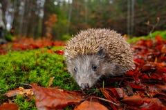 欧洲猬,猬属europaeus,在森林的一个绿色青苔,与广角的照片 在黑暗的木头,秋天图象的猬 库存照片
