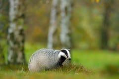 欧洲獾,秋天落叶松属绿色森林哺乳动物的环境,雨天 獾在森林,兽性栖所,德国, Europ里 库存图片