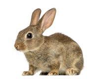 欧洲的兔子或公用兔子, 2个月 免版税库存图片