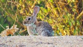 欧洲的兔子conejo de campo 免版税库存图片