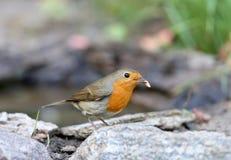 欧洲知更鸟画眉rubecula的画象的额外关闭与一只小蠕虫的在额嘴 免版税图库摄影