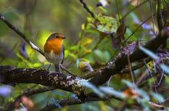 欧洲知更鸟,画眉rubecula, redbreast,日内瓦,瑞士 免版税库存图片
