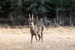 欧洲站立在一个黄色领域的獐鹿亲爱的大型装配架 免版税库存图片