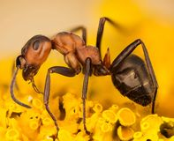 欧洲红褐林蚁,蚂蚁,蚂蚁,胶木rufa 免版税图库摄影