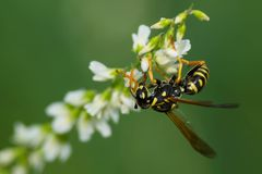 欧洲纸质黄蜂 免版税库存图片