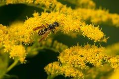欧洲纸质黄蜂 库存图片