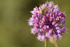 欧洲纸质黄蜂 免版税库存照片