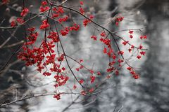 欧洲纺锤卫矛europaea果子秋天 库存图片