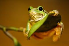 欧洲绿色雨蛙前雨蛙arborea蛙属arborea 免版税库存图片