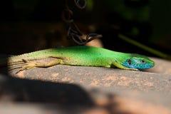 欧洲绿蜥蜴 库存照片