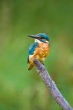 欧洲翠鸟 免版税库存图片