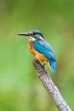 欧洲翠鸟 库存图片