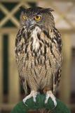 欧洲老鹰猫头鹰的纵向 库存照片