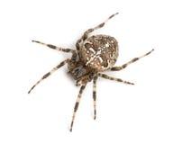 欧洲花园蜘蛛的顶视图 免版税图库摄影