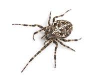 欧洲花园蜘蛛的顶视图 免版税库存图片