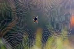 欧洲花园蜘蛛 库存图片