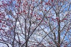 欧洲花楸用在雪的红色莓果 免版税图库摄影