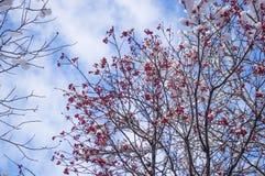 欧洲花楸用在雪的红色莓果 库存图片