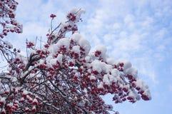 欧洲花楸用在雪的红色莓果 库存照片