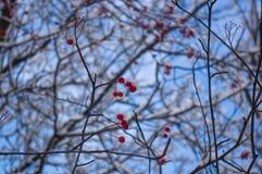 欧洲花楸用在雪的红色莓果 免版税库存照片