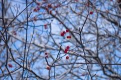 欧洲花楸用在雪的红色莓果 免版税库存图片