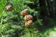 欧洲落叶松Larix Decidua小树枝与杉木锥体的在被弄脏的背景 库存照片
