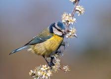 欧洲蓝冠山雀-在开花装载枝杈栖息的Cyanistes caeruleus 免版税库存照片
