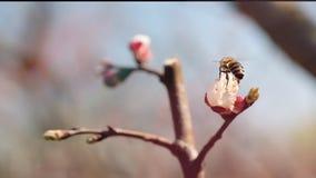 欧洲蜂蜜蜂,Apis mellifera,在杏树花 影视素材