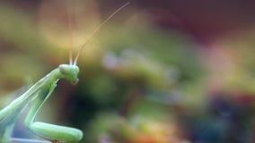 欧洲螳螂或螳螂,螳螂religiose 股票视频