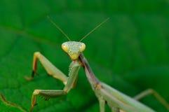 欧洲螳螂祈祷 免版税库存图片