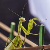 欧洲螳螂螳螂religiosa的特写镜头 库存照片