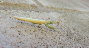 2011113欧洲螳螂 免版税图库摄影