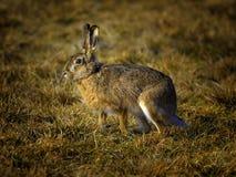 欧洲野兔 图库摄影