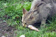 欧洲野猫 库存图片