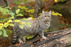 欧洲野猫 图库摄影