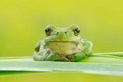 欧洲雨蛙,雨蛙arborea,坐草秸杆有清楚的绿色背景 精密绿色两栖动物在自然栖所 通配 库存照片