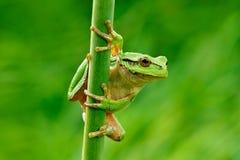 欧洲雨蛙,雨蛙arborea,坐草秸杆有清楚的绿色背景 精密绿色两栖动物在自然栖所 通配 免版税库存图片