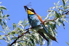 欧洲食蜂鸟是一只难以置信地五颜六色的鸟 免版税库存照片