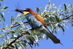 欧洲食蜂鸟是一只难以置信地五颜六色的鸟 库存照片
