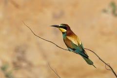 欧洲食蜂鸟是一只难以置信地五颜六色的鸟 库存图片