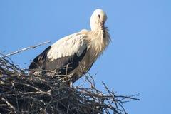 在巢的白色鹳 免版税库存照片