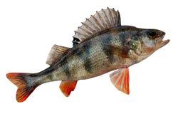 欧洲fluviatilis鲈鱼属栖息处 免版税库存照片